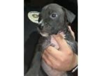 Adopt PUPPY 2 a American Staffordshire Terrier