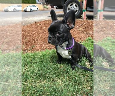 French Bulldog PUPPY FOR SALE ADN-131163 - Sweet French Bulldog Puppy
