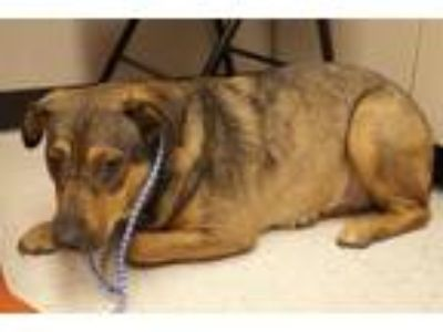 Adopt Blossom a Rottweiler / German Shepherd Dog / Mixed dog in Baton Rouge