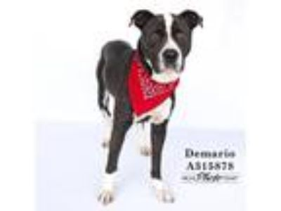 Adopt DEMARIO a Black - with White American Pit Bull Terrier / Mixed dog in