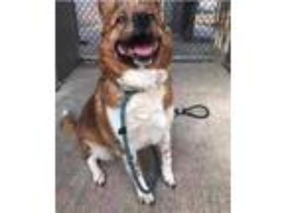 Adopt Redina a Red/Golden/Orange/Chestnut Collie / Mixed dog in Lowell