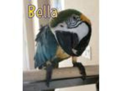 Adopt Bella a Macaw bird in Tampa, FL (23366955)