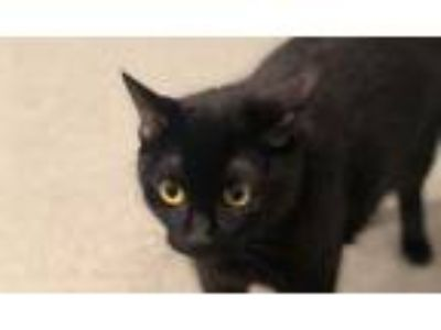 Adopt Baby Rose a Domestic Short Hair
