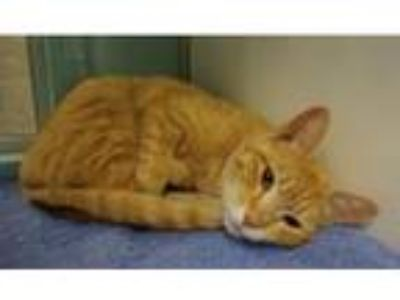 Adopt Hailey a Domestic Shorthair cat in Denver, CO (25328106)