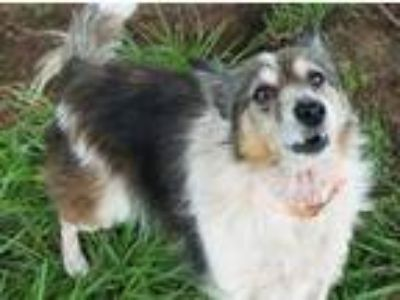 Adopt Josie a Brown/Chocolate Sheltie, Shetland Sheepdog / Mixed dog in South