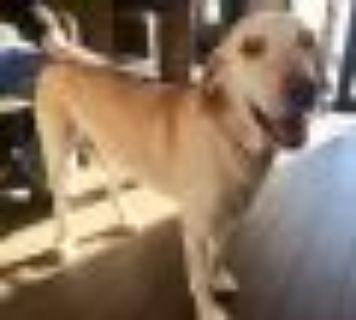 Charles Yellow Labrador Retriever Dog