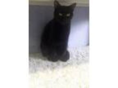 Adopt MacKenna a Domestic Short Hair