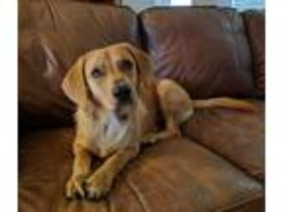 Adopt Nova a Tan/Yellow/Fawn - with White Beagle / Labrador Retriever / Mixed