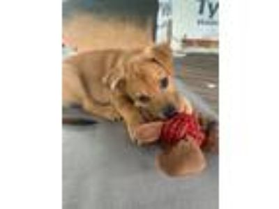 Adopt PEACHES HERB SOCIETY-A PEACH PUP a German Shepherd Dog
