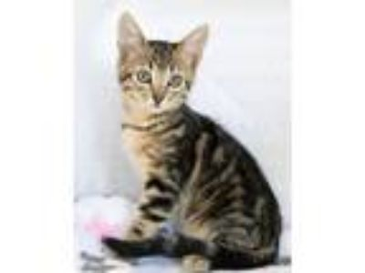 Adopt Cinnamon a Tiger Striped Domestic Shorthair (short coat) cat in Montclair