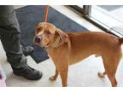 Adopt Tucker a Brown/Chocolate Hound (Unknown Type) / Terrier (Unknown Type