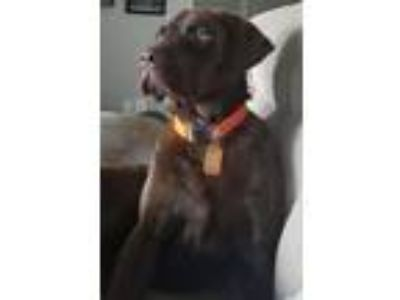 Adopt Win Win Win a Brown/Chocolate Labrador Retriever / Mixed dog in Denton