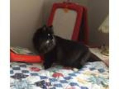 Adopt MITTENS a Domestic Long Hair, Maine Coon