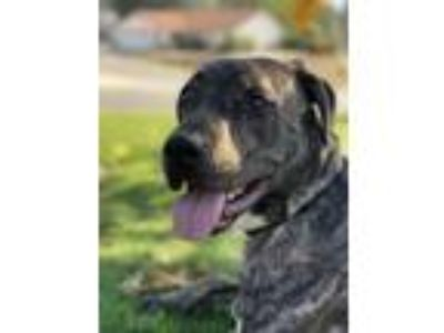 Adopt Loki a Brindle Labrador Retriever / American Pit Bull Terrier / Mixed dog
