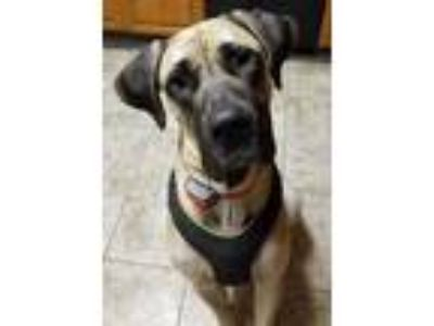 Adopt Guinness a Great Dane / Mastiff dog in Lorain, OH (19642604)
