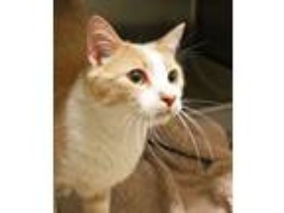 Adopt Sebastian a Tabby, Domestic Short Hair