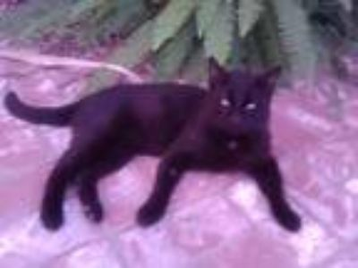 Adopt Sweetie Boy a All Black Domestic Shorthair cat in Garden Grove