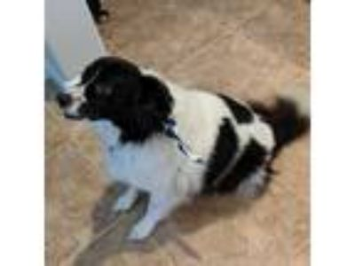 Adopt Bodi a White - with Black Border Collie / Terrier (Unknown Type