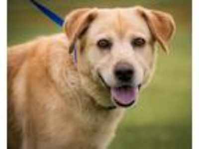 Adopt Jennings a Labrador Retriever