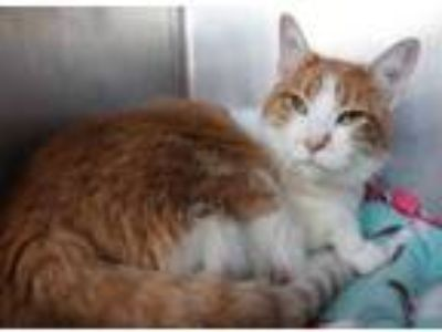 Adopt Kitten a Orange or Red Domestic Shorthair / Domestic Shorthair / Mixed cat