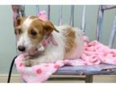 Adopt Pixie a Terrier (Unknown Type, Medium) / Mixed dog in Meridian