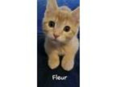 Adopt Fleur a Domestic Short Hair