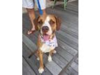 Adopt Oliver a Brown/Chocolate - with Tan Hound (Unknown Type) / Boxer / Mixed