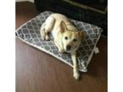 Adopt Luciano a Tan/Yellow/Fawn Labrador Retriever / Shepherd (Unknown Type) dog