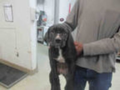 Adopt a Black Labrador Retriever / Mixed dog in Oklahoma City, OK (25303462)