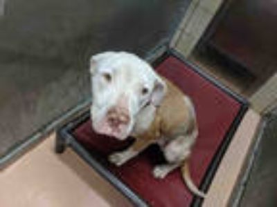 Adopt CHATO a Brown/Chocolate - with White American Pit Bull Terrier / Mixed dog