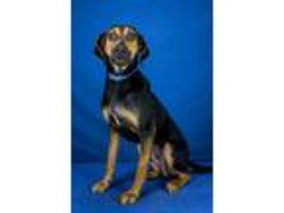 Adopt Huckleberry a Coonhound / Mixed dog in LAFAYETTE, LA (25628480)
