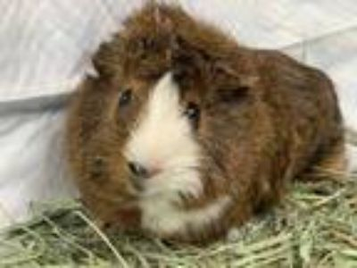 Adopt LUNA a Brown or Chocolate Guinea Pig / Guinea Pig / Mixed small animal in