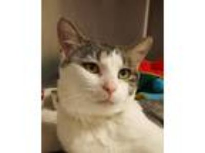 Adopt Random a White (Mostly) Domestic Shorthair (short coat) cat in Grayslake
