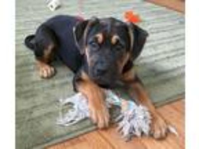 Adopt Malta SCAS a Black - with Brown, Red, Golden, Orange or Chestnut Boxer /