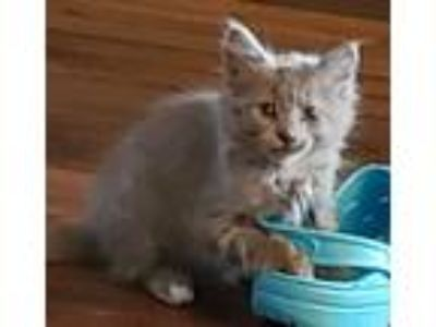 Adopt Butterball a Tan or Fawn Ragdoll cat in Azle, TX (25534749)