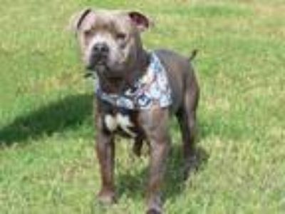 Adopt WHOPPER a Pit Bull Terrier, Mixed Breed