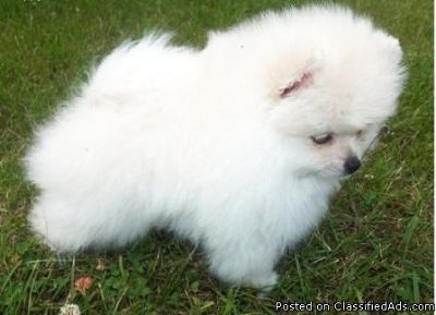 Cute Amazing Pomeranian puppies available for sale