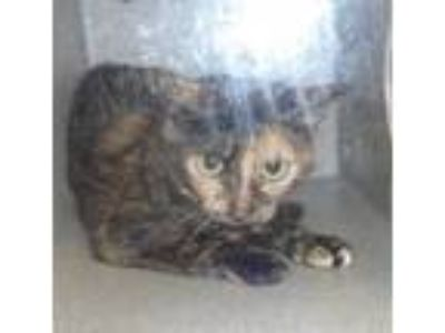 Adopt a Domestic Shorthair / Mixed cat in Raleigh, NC (25327127)