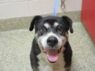 Adopt COOKIE a Labrador Retriever, Border Collie