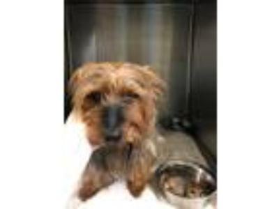 Adopt BJ Perry a Yorkshire Terrier