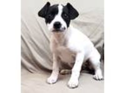 Adopt Shelly Marsh a White - with Black Hound (Unknown Type) / Pit Bull Terrier