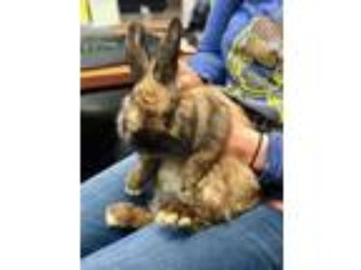 Adopt Phil a Chocolate Lop, Holland / Other/Unknown / Mixed rabbit in Redmond