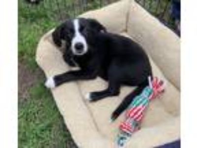 Adopt Lukas a Black - with White Labrador Retriever / Collie / Mixed dog in