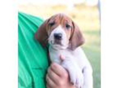Adopt Female & Male puppies a White - with Brown or Chocolate Beagle / Hound
