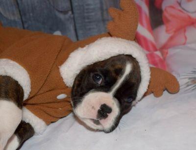 Boxer PUPPY FOR SALE ADN-108911 - Hanes Boxer Pups