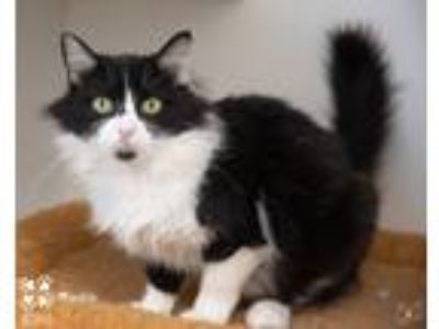 Adopt Blackie a Black & White or Tuxedo Domestic Longhair (long coat) cat in