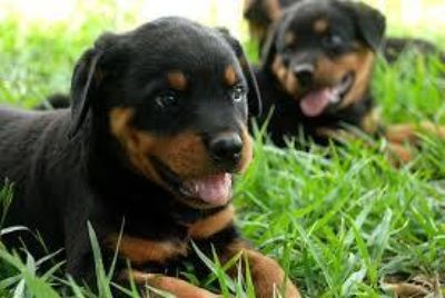 lovely rottweiler puppies ready for new homes