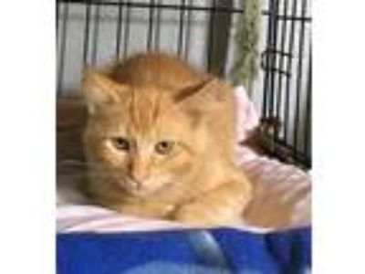 Adopt Kobe a Orange or Red Tabby Domestic Mediumhair (medium coat) cat in Yukon