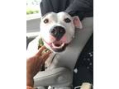 Adopt Lindy - ADOPTION PENDING! a White American Pit Bull Terrier / Mixed Breed
