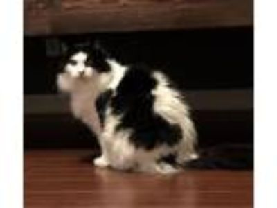 Adopt Phantom **By Appointment** a Domestic Long Hair